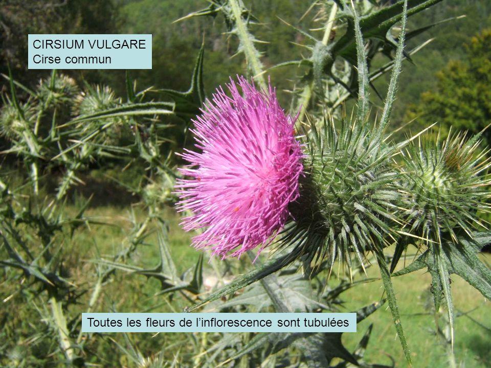 CIRSIUM VULGARE Cirse commun Toutes les fleurs de l'inflorescence sont tubulées