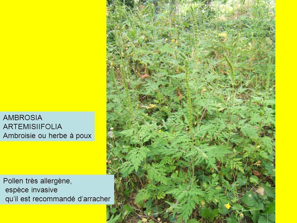 AMBROSIA ARTEMISIIFOLIA. Ambroisie ou herbe à poux.