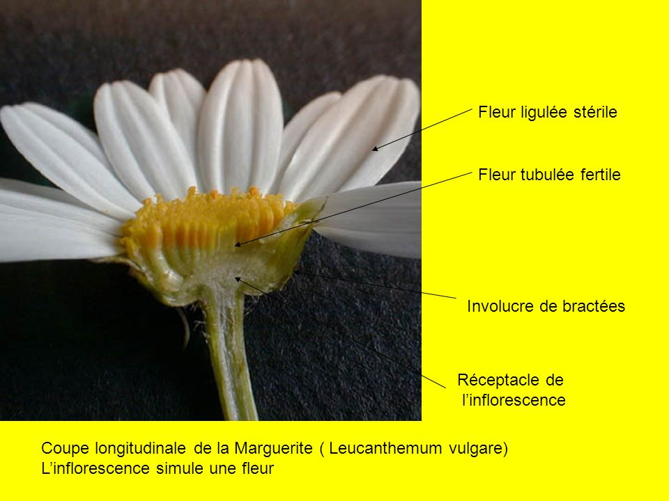 Fleur ligulée stérile Fleur tubulée fertile. Involucre de bractées. Réceptacle de. l'inflorescence.