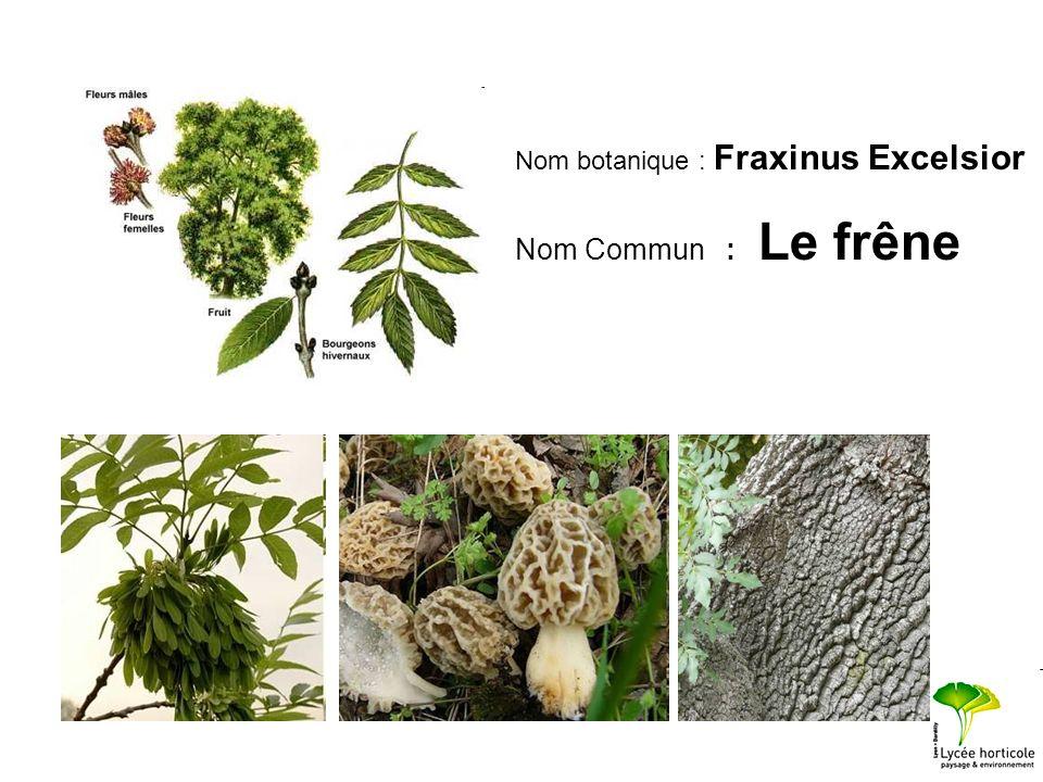 Nom botanique : Fraxinus Excelsior