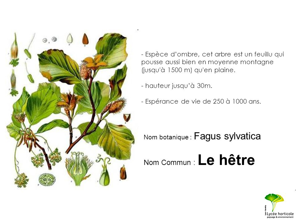 - Espèce d'ombre, cet arbre est un feuillu qui pousse aussi bien en moyenne montagne (jusqu à 1500 m) qu en plaine.