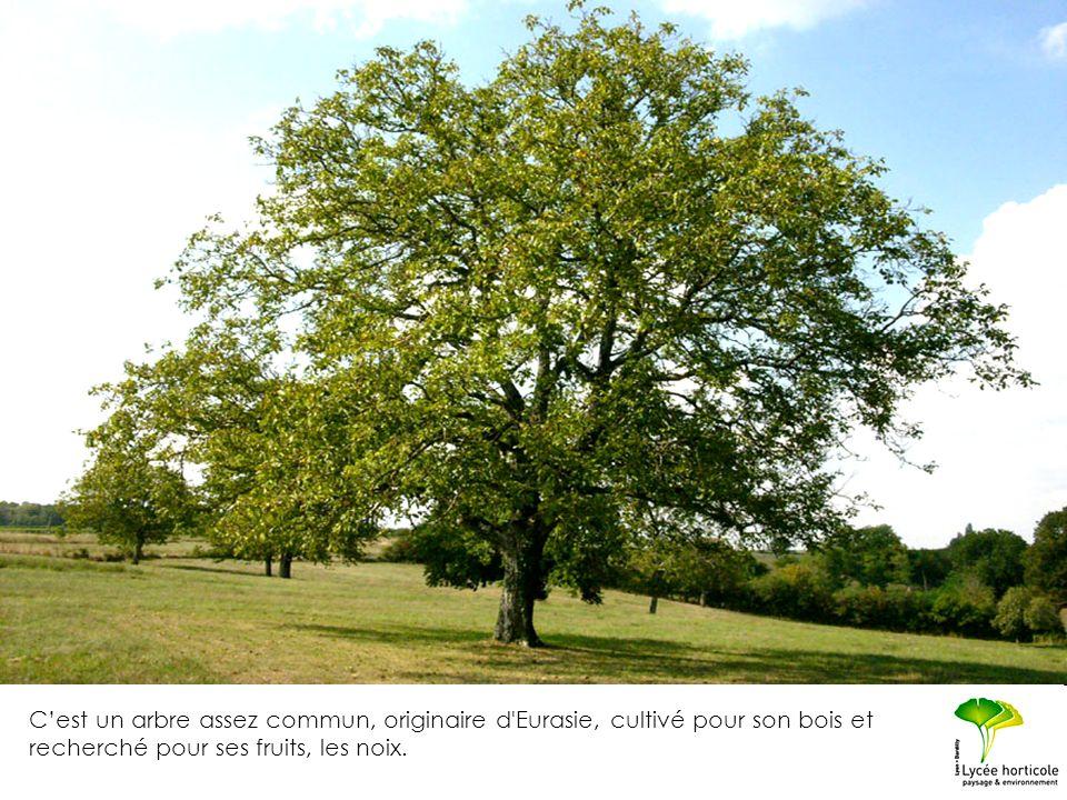 C'est un arbre assez commun, originaire d Eurasie, cultivé pour son bois et recherché pour ses fruits, les noix.