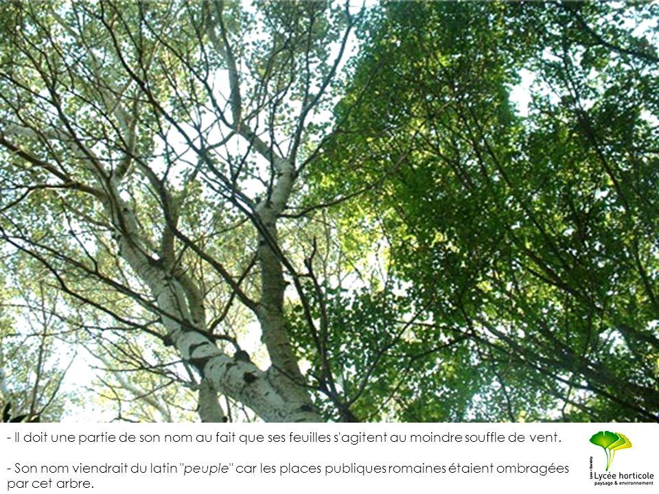 - Il doit une partie de son nom au fait que ses feuilles s agitent au moindre souffle de vent.