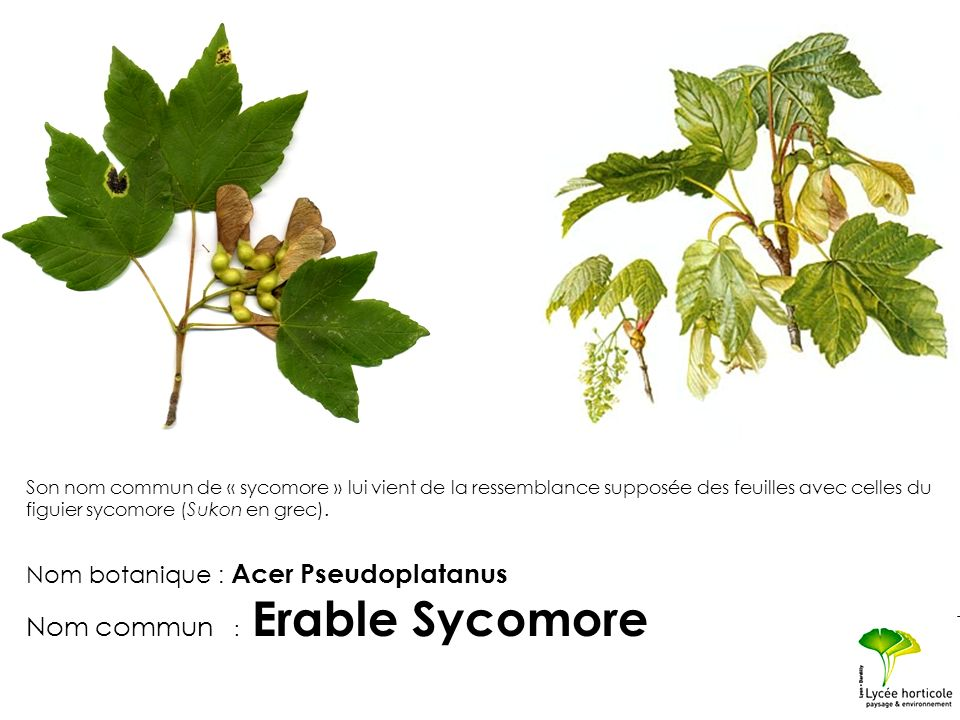 Nom commun : Erable Sycomore