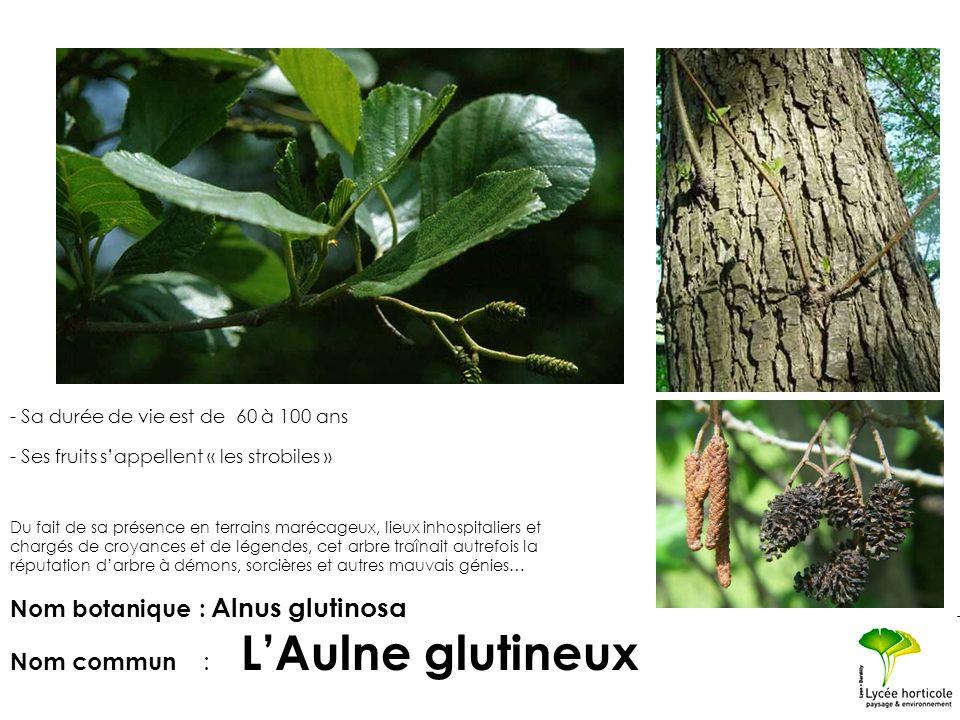 Nom botanique : Alnus glutinosa Nom commun : L'Aulne glutineux