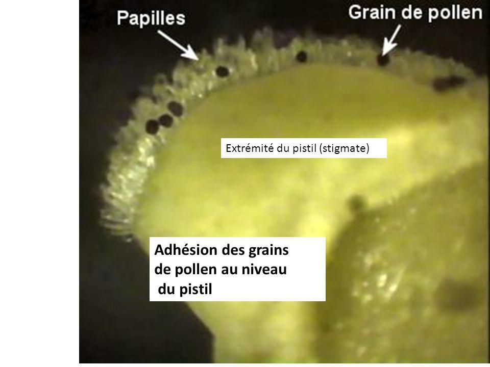 Adhésion des grains de pollen au niveau du pistil