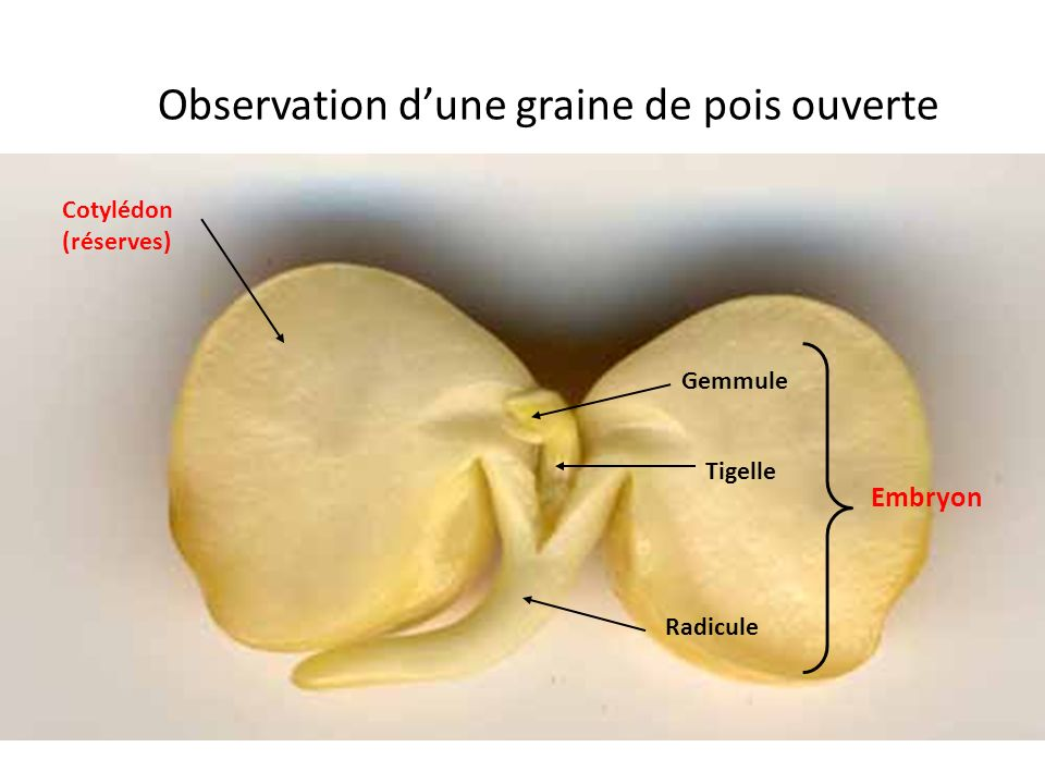 Observation d'une graine de pois ouverte