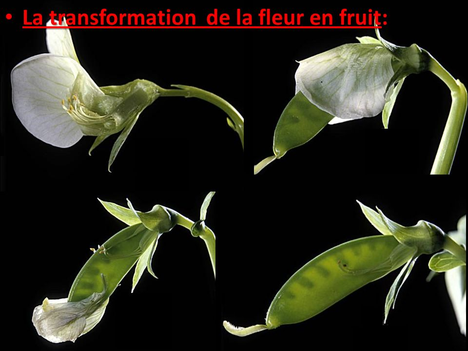 La transformation de la fleur en fruit: