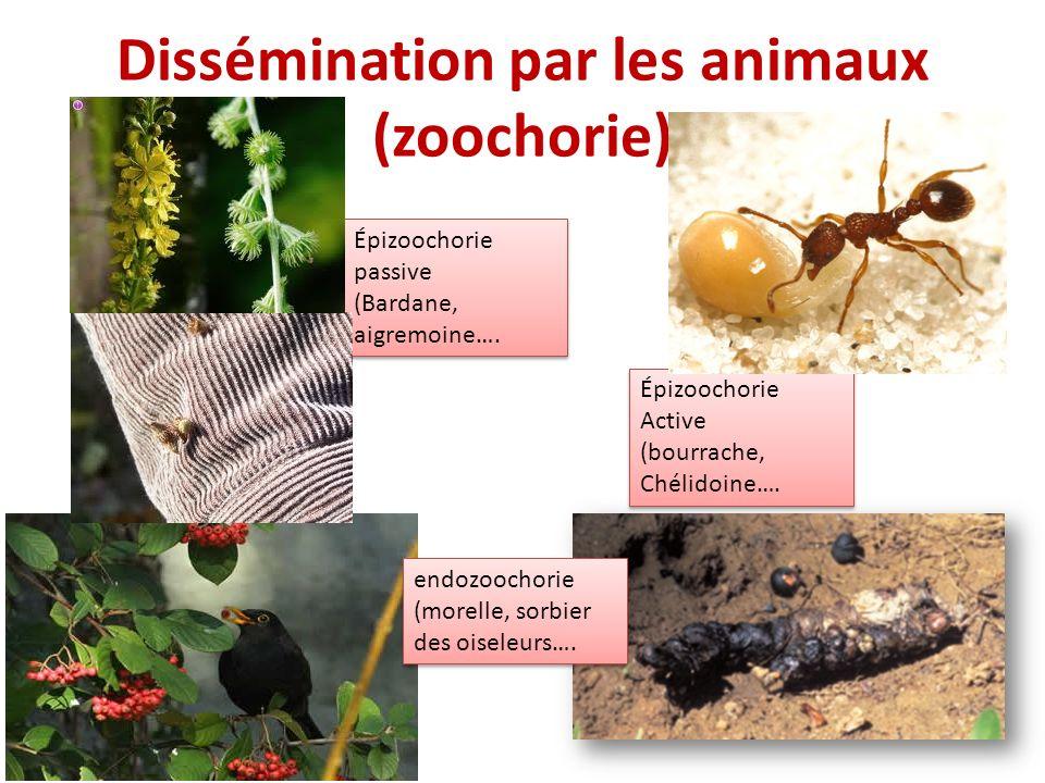 Dissémination par les animaux (zoochorie)
