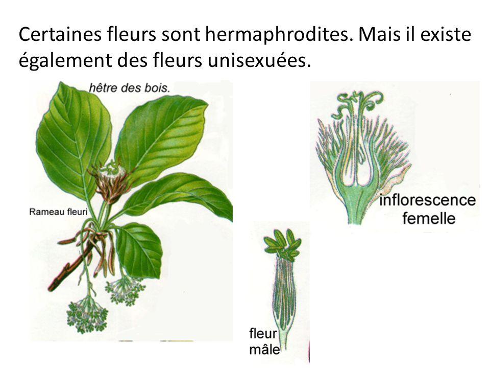 Certaines fleurs sont hermaphrodites