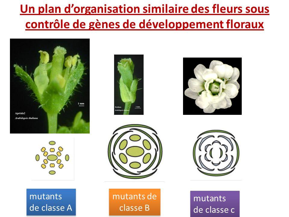 Un plan d'organisation similaire des fleurs sous contrôle de gènes de développement floraux