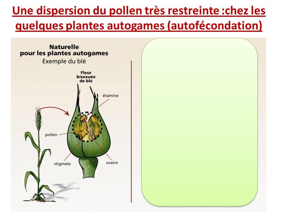 Une dispersion du pollen très restreinte :chez les quelques plantes autogames (autofécondation)
