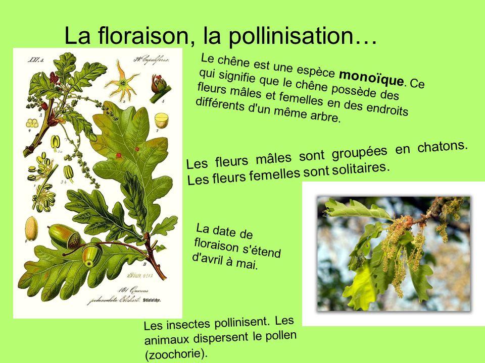 La floraison, la pollinisation…