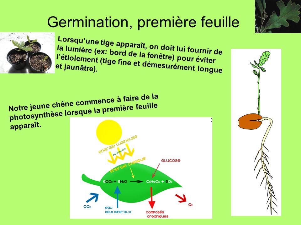 Germination, première feuille