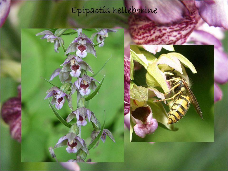 Epipactis helléborine