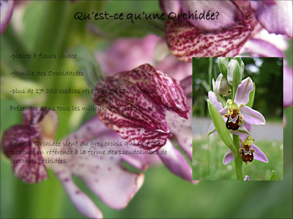 Qu'est-ce qu'une Orchidée