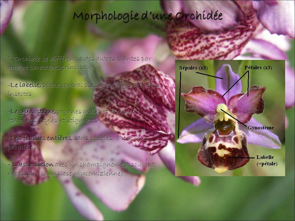 Morphologie d'une Orchidée