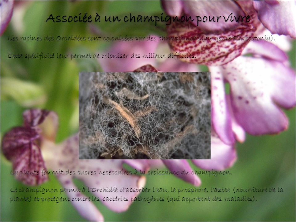Associée à un champignon pour vivre