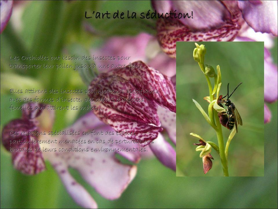 L'art de la séduction! Les Orchidées ont besoin des insectes pour transporter leur pollen jusqu'à une autre fleur.