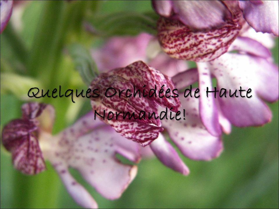 Quelques Orchidées de Haute Normandie!