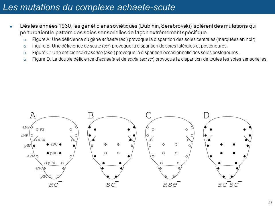 Les mutations du complexe achaete-scute