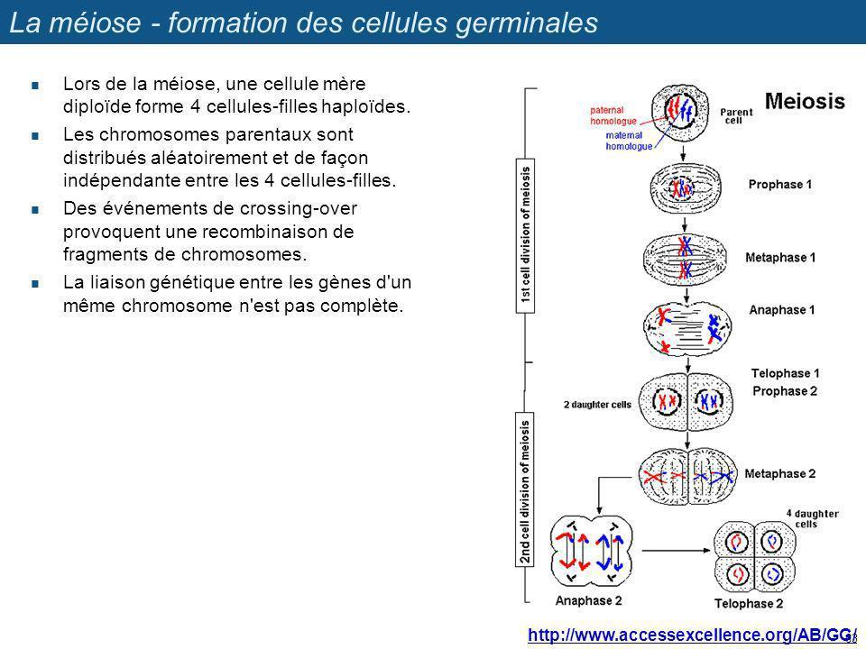 La méiose - formation des cellules germinales