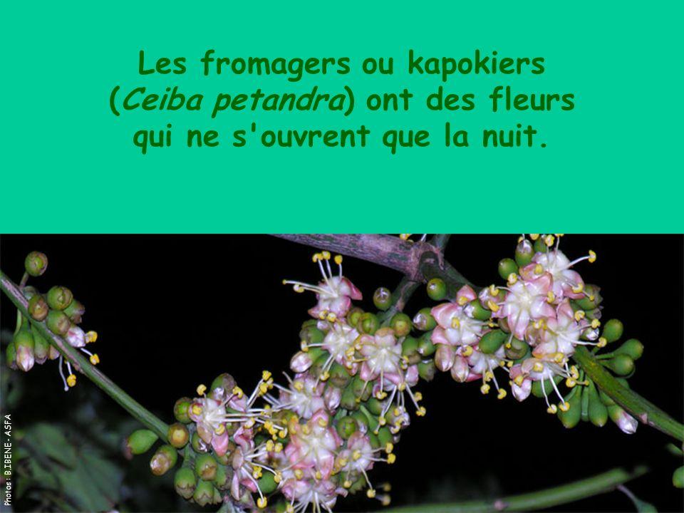 Les fromagers ou kapokiers (Ceiba petandra) ont des fleurs