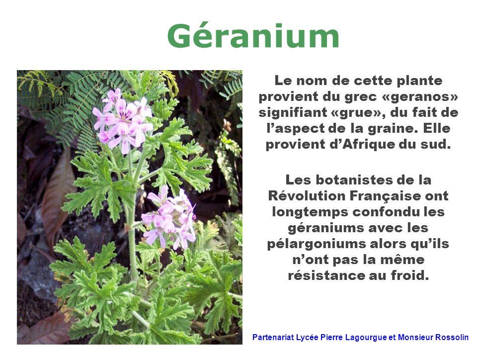 Géranium Le nom de cette plante provient du grec «geranos» signifiant «grue», du fait de l'aspect de la graine. Elle provient d'Afrique du sud.