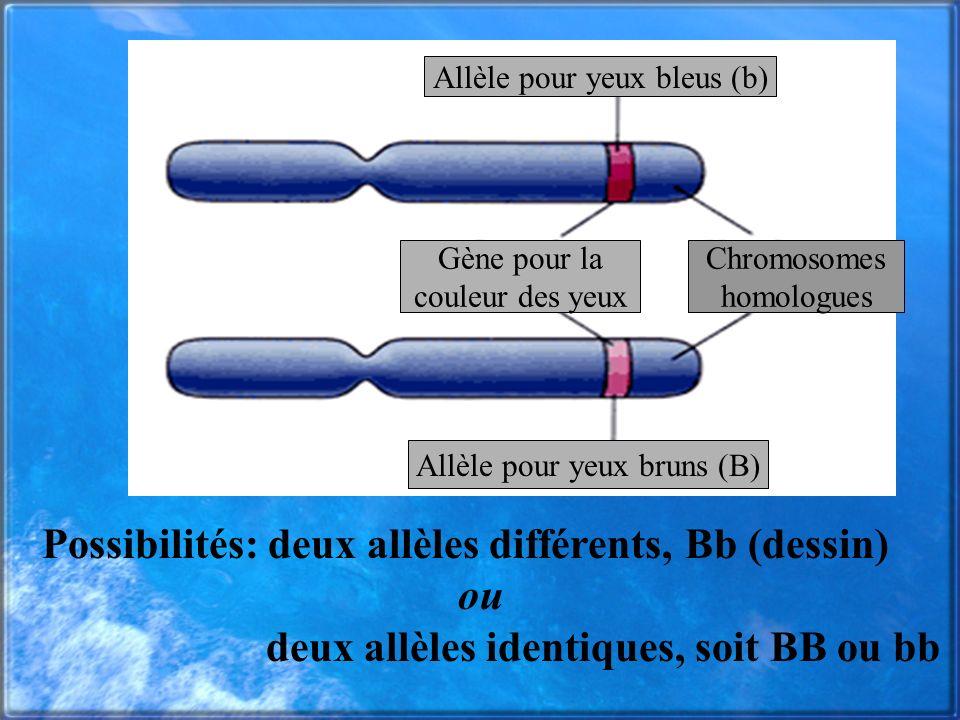 Possibilités: deux allèles différents, Bb (dessin) ou