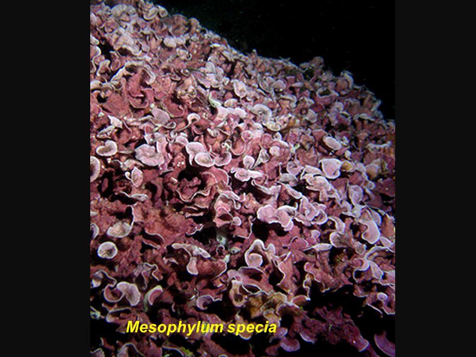 Mésophylum specia Mesophylum specia