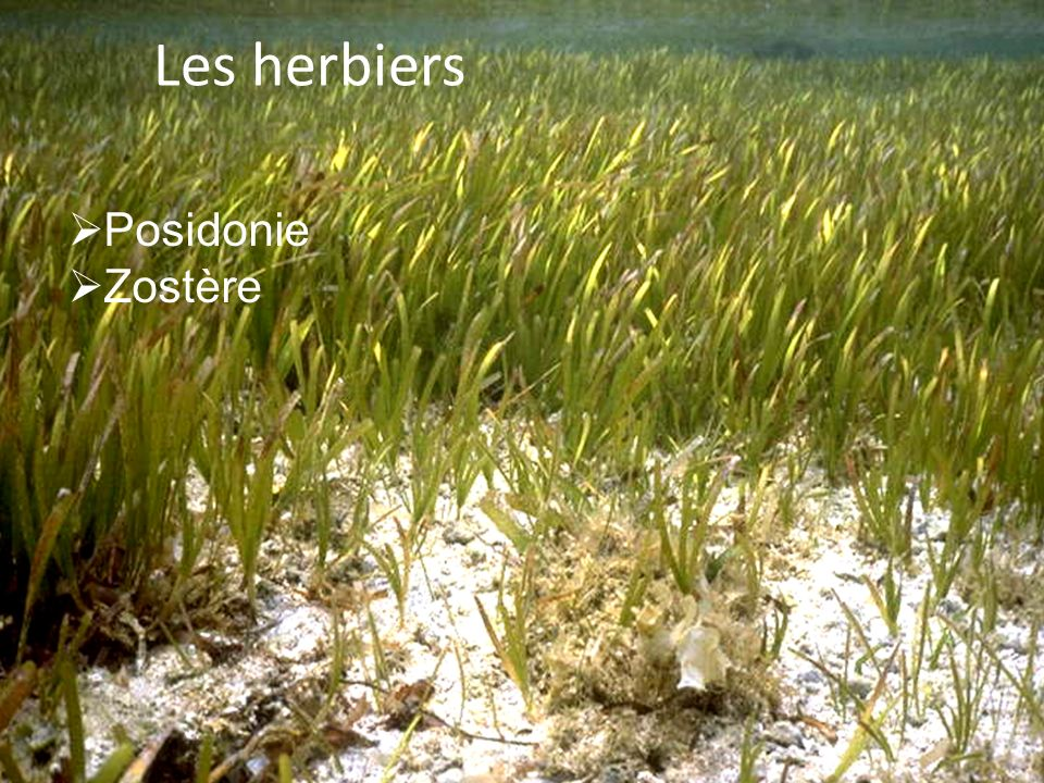 Les herbiers Posidonie Zostère