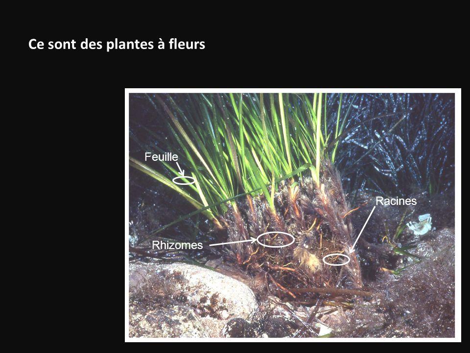Ce sont des plantes à fleurs