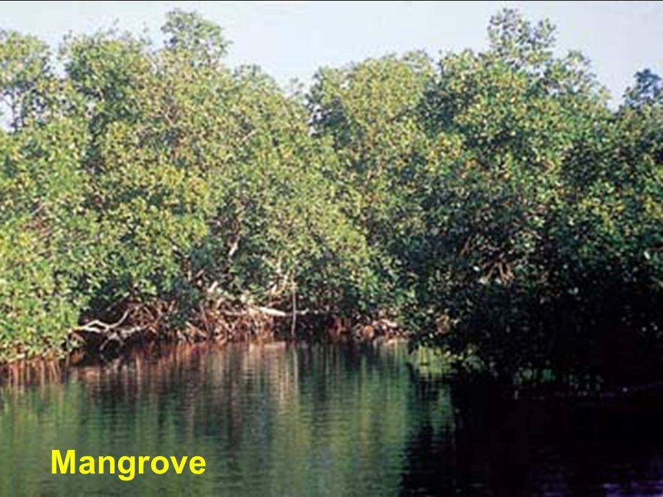 Mangrove Mangrove