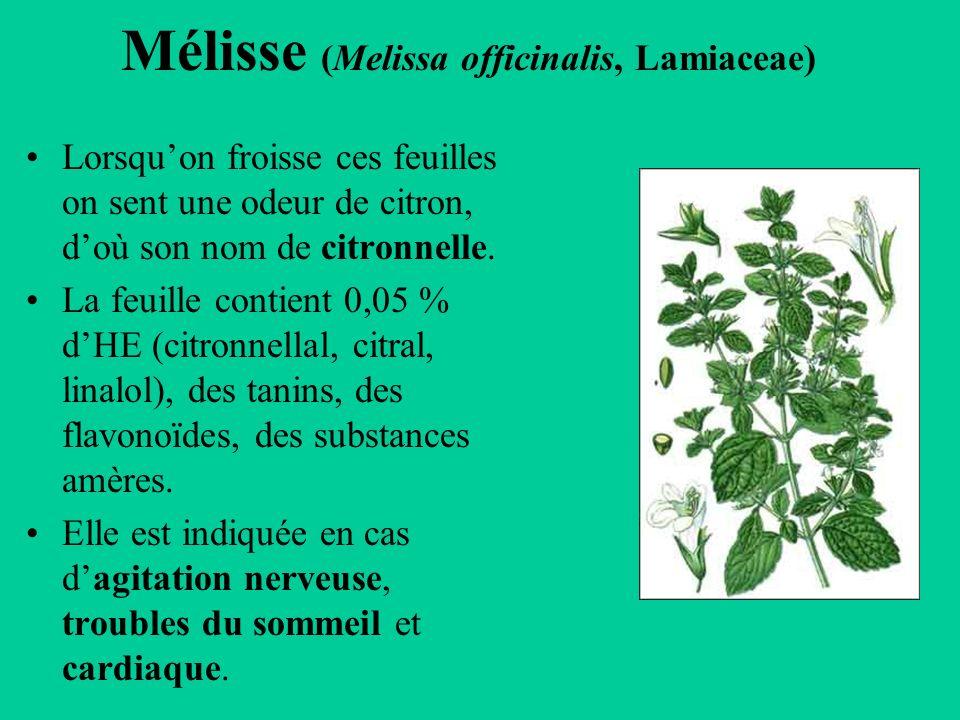 Mélisse (Melissa officinalis, Lamiaceae)