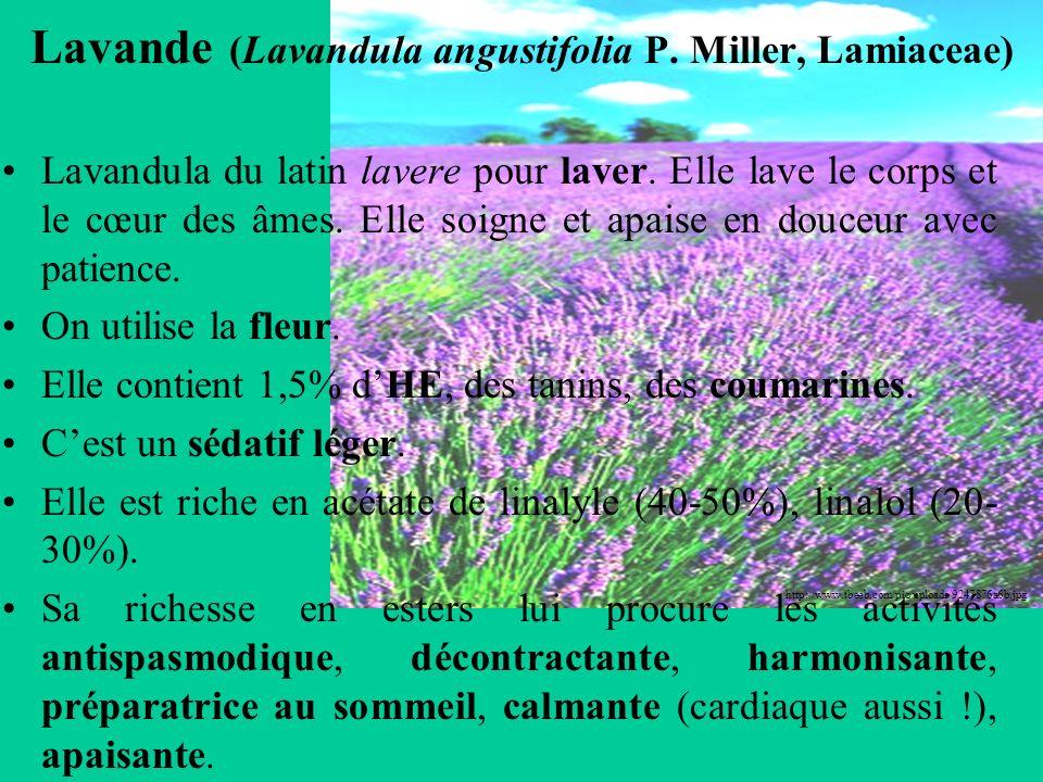 Lavande (Lavandula angustifolia P. Miller, Lamiaceae)