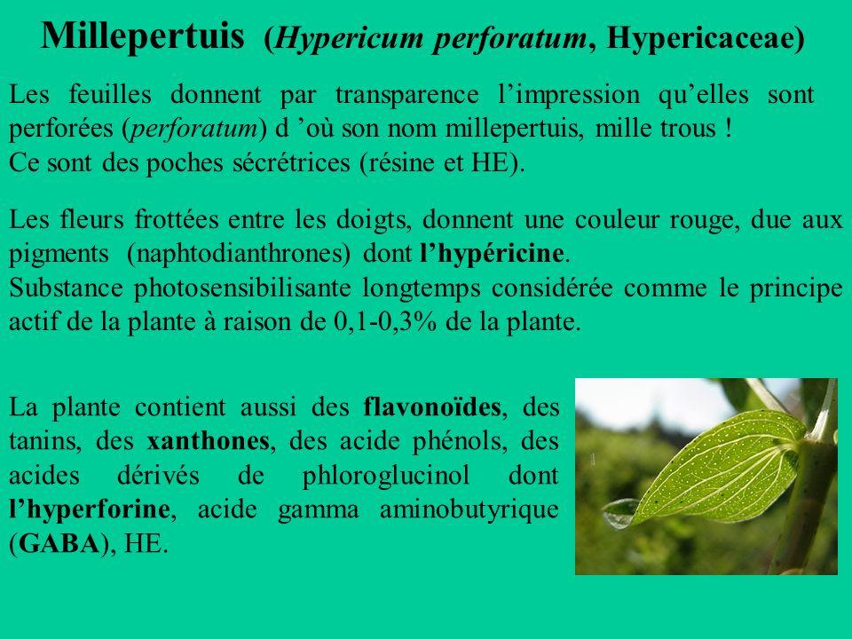 Millepertuis (Hypericum perforatum, Hypericaceae)