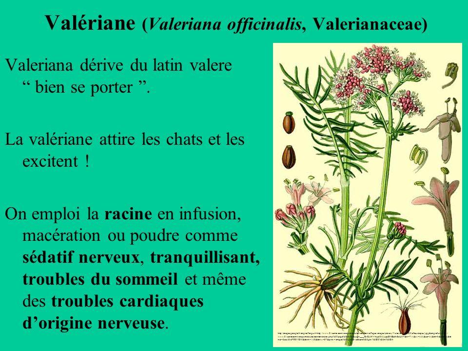 Valériane (Valeriana officinalis, Valerianaceae)
