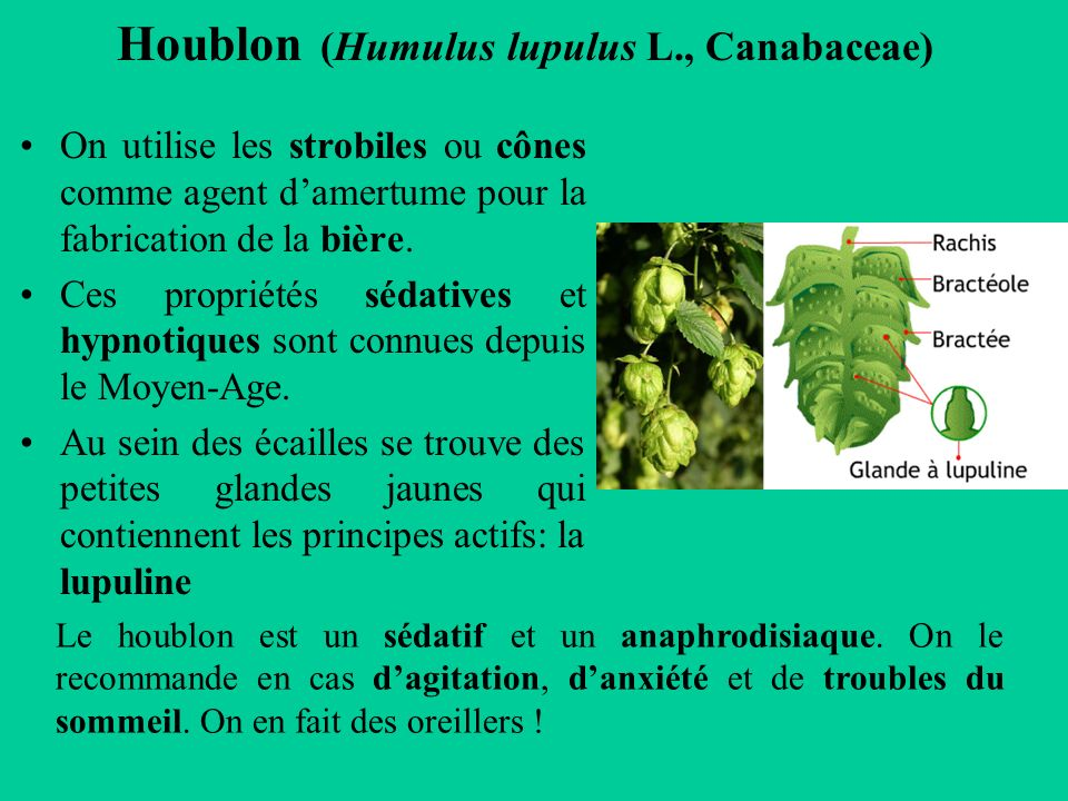 Houblon (Humulus lupulus L., Canabaceae)
