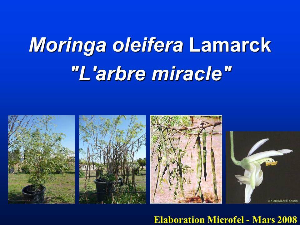 Moringa oleifera Lamarck