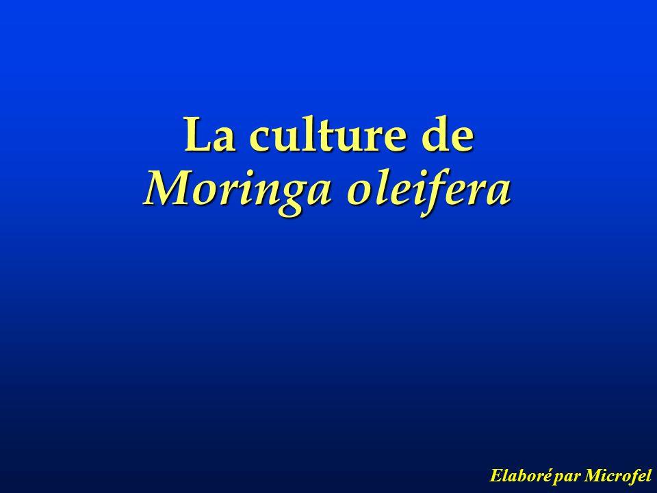 La culture de Moringa oleifera