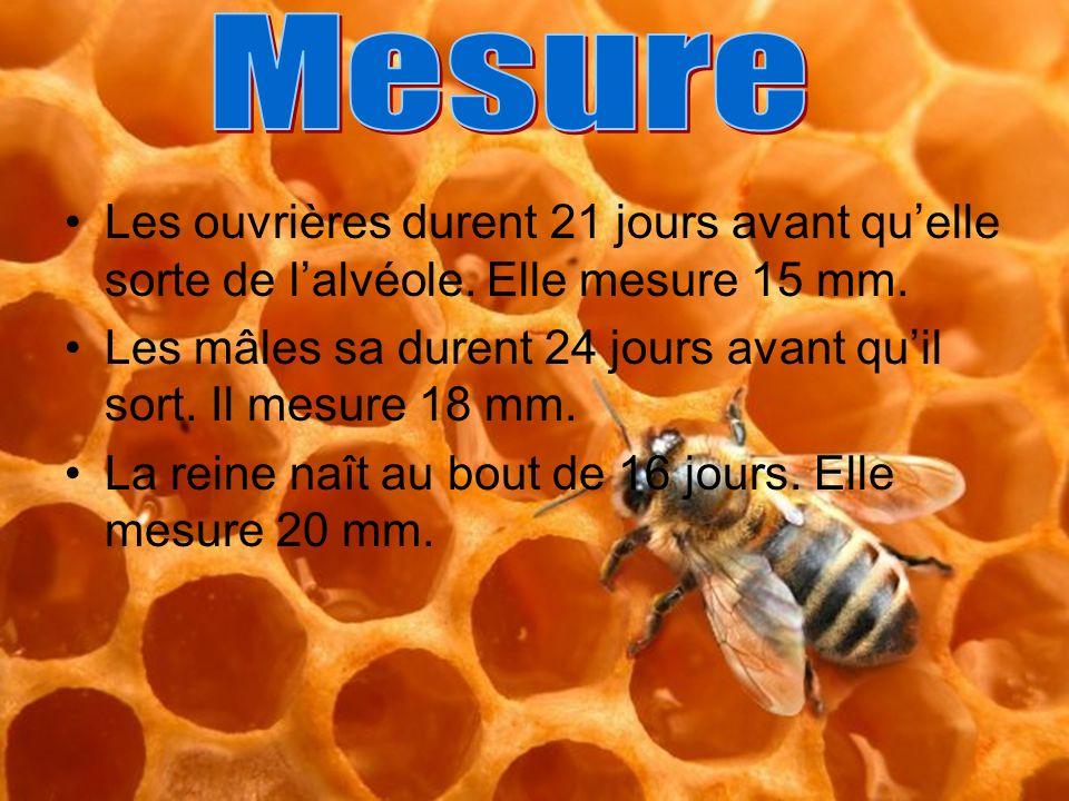Mesure Les ouvrières durent 21 jours avant qu'elle sorte de l'alvéole. Elle mesure 15 mm.