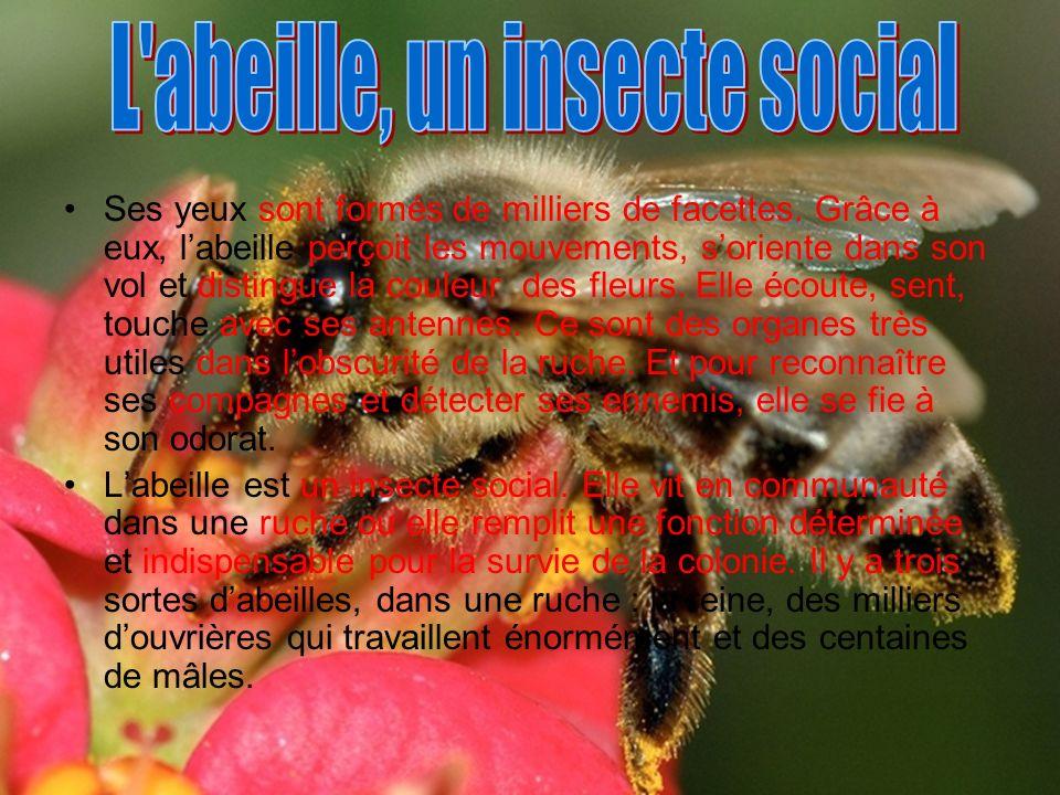 L abeille, un insecte social