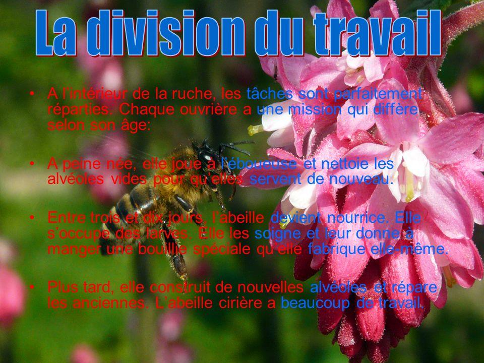La division du travail A l'intérieur de la ruche, les tâches sont parfaitement réparties. Chaque ouvrière a une mission qui diffère selon son âge:
