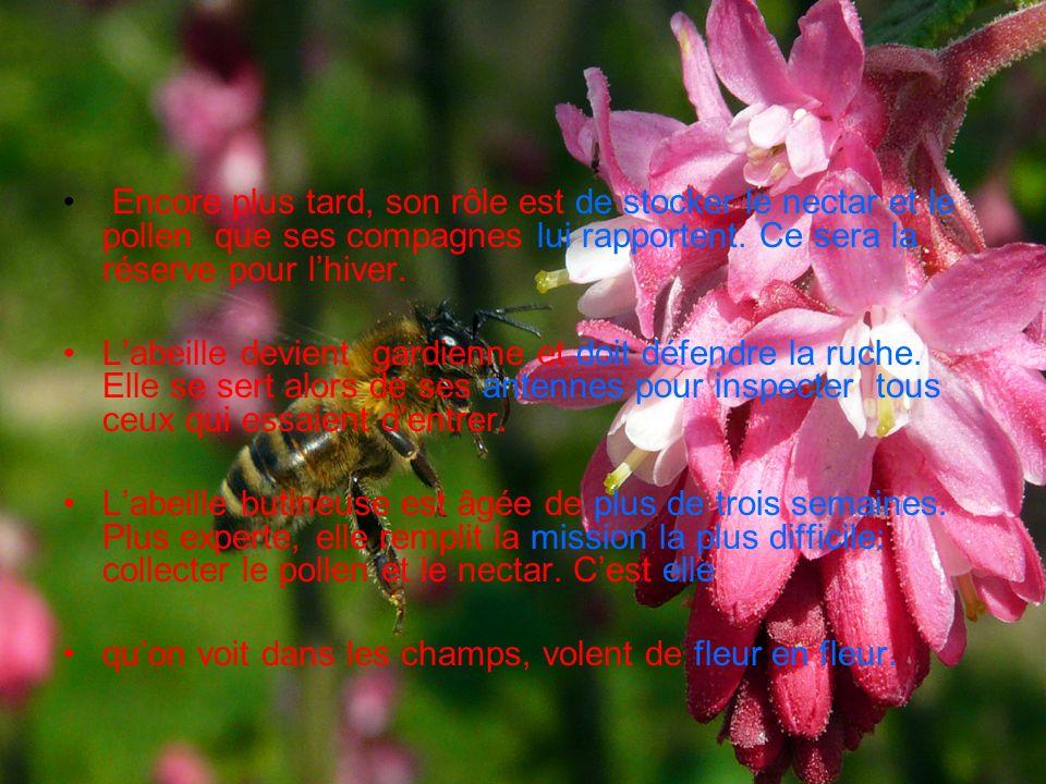 Encore plus tard, son rôle est de stocker le nectar et le pollen que ses compagnes lui rapportent. Ce sera la réserve pour l'hiver.