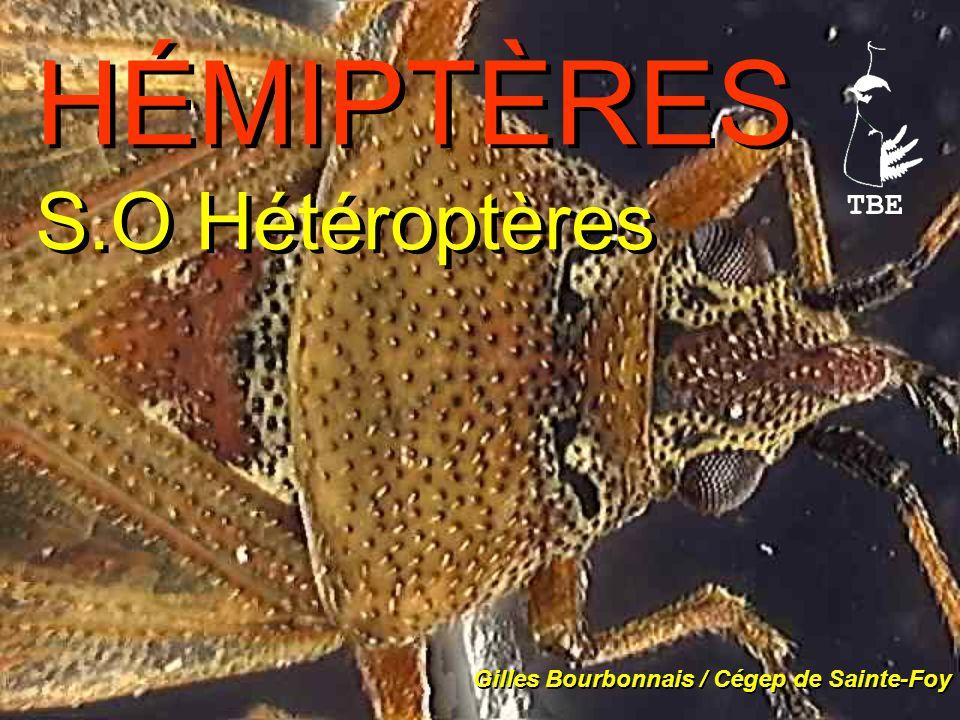 HÉMIPTÈRES S.O Hétéroptères