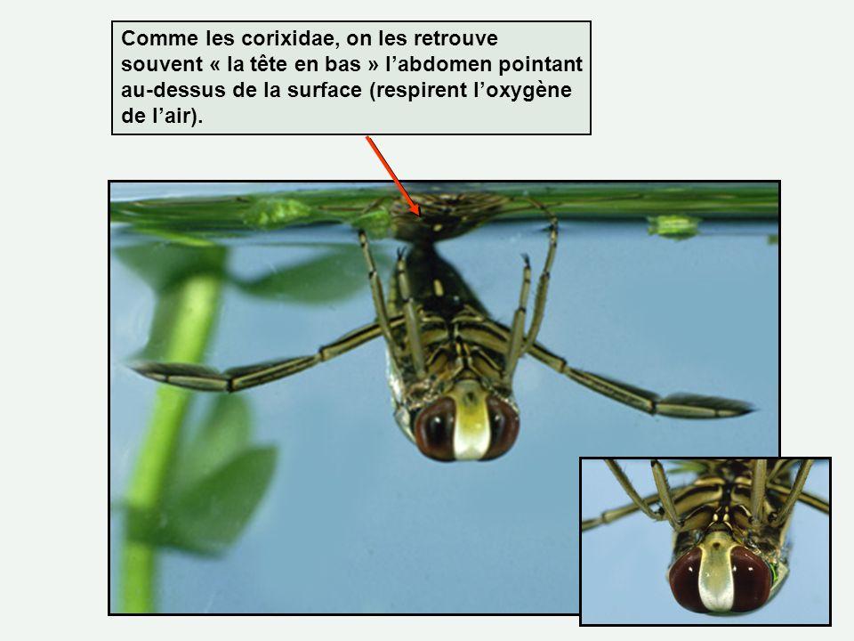 Comme les corixidae, on les retrouve souvent « la tête en bas » l'abdomen pointant au-dessus de la surface (respirent l'oxygène de l'air).