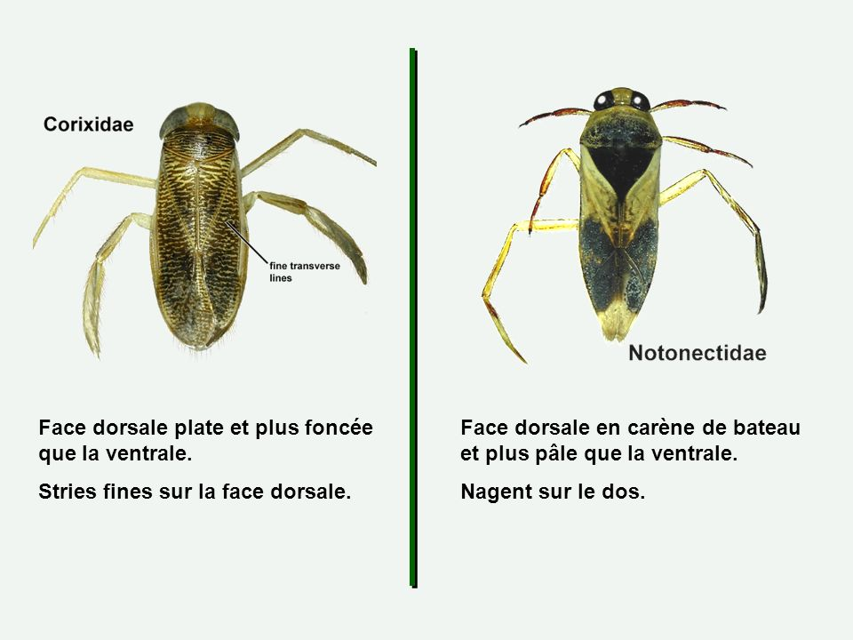 Face dorsale plate et plus foncée que la ventrale.