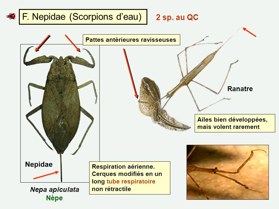 F. Nepidae (Scorpions d'eau)