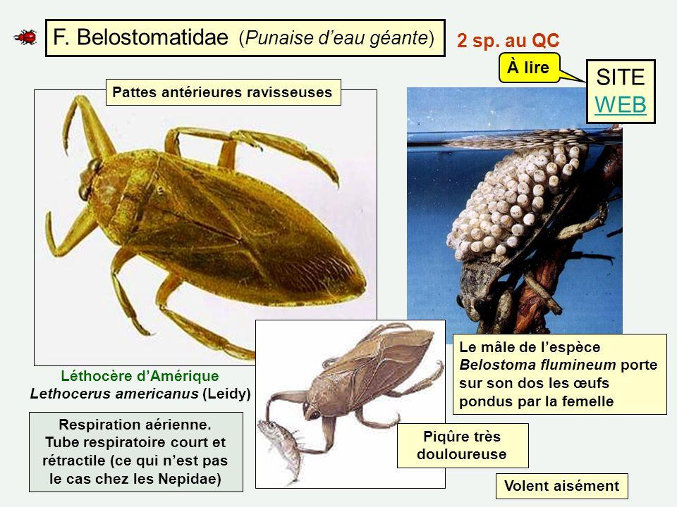 F. Belostomatidae (Punaise d'eau géante)