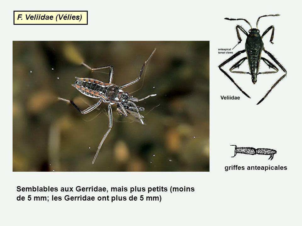 F. Veliidae (Vélies) griffes anteapicales.